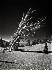 moonscape (jody9) Tags: california trees film mediumformat bravo sierranevada moonscape pentax6x7 pentax67 ancientbristleconepineforest magicdonkey