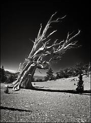 moonscape (jody9) Tags: california trees film mediumformat bravo sierranevada moonscape pentax6x7 pentax67 ancientbristleconepineforest magicdonkey