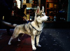 Siku (dlemieux) Tags: city light urban dog color ice beautiful boston puppy husky citylife dlemieux streetshots streetphotography soe downtowncrossing siku bostonist 510favorites urbanlifeinmetropolis