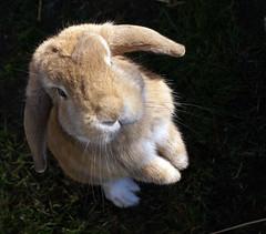Ukkie (Sjaek) Tags: pet rabbit bunny animal furry sweet adorable fluffy ukkie