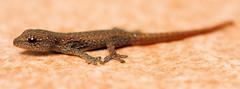Baby Gecko (Axel Bhrmann) Tags: macro tiny humanhair babygecko 10millionphotos tenmillionphotos unlimitedphotos axelbuhrmann axelbhrmann oldtimes2005abcoza axelbcozaoldtimes