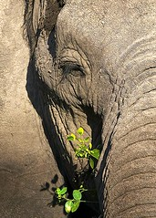dry and soft (majedphotos.com) Tags: life africa travel food plant elephant abstract green eye art up grass animal germany soft die close zoom kenya live hard grow dry safari ali kuwait majed amboseli voluntary vwc specanimal kwtphoto kvwc kuwaitvoluntaryworkcenter kuwaitvwc