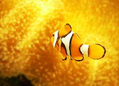 sneaking Nemo :-) (julioc.) Tags: orange fish water beautiful yellow gua closeup faro lumix fz20 gold aquarium 1 golden nemo quality clown laranja dourado clownfish peixe hiding palhao dmcfz20 bigmomma animalsincaptivity julioc flickrsbest cy2 challengeyouwinner mywinners abigfave challengeyouniner beautifulfish photographybyjulioctheblog favescontestwinner a3b pfogold acg2ndplacewinner j7599