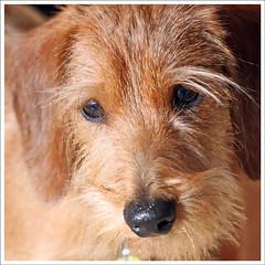 IMG_5947jw (hz536n/George Thomas) Tags: winter dog oklahoma puppy dachshund stillwater 2007 canon30d canonef70200mmf4lusm pse5