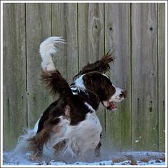 IMG_5695jw (hz536n/George Thomas) Tags: winter dog white snow oklahoma ess darwin spaniel springer springerspaniel stillwater 2007 englishspringerspaniel canon30d canonef70200mmf4lusm pse5