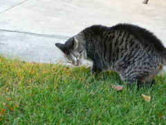 Dalee outside eating grass (marydenise6) Tags: grass cat outside backyard tabby tiger kitty patio gato eatinggrass dalee