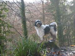 rocky on tree stump (dandavie) Tags: dog tibetanterrier terrier tibetan treestump leighwoods