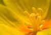 Promise Willow (olvwu | 莫方) Tags: usa flower macro yellow ga georgia yellowflower savannah soe ludwigia jungpangwu oliverwu oliverjpwu flickrexplore explored flowercentermacro promisewillow olvwu jungpang 莫方 吳榮邦