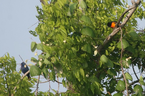 Blue Grosbeak and Baltimore Oriole
