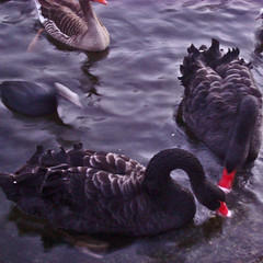 nearly kissing (gorgeoux) Tags: park uk red lake black london water st duck wings twilight beak feathers royal goose clear swans squared jamess necks