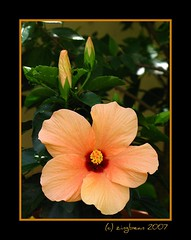 Portrait of Copper Cecilia (zingbean) Tags: flowers singapore gardening hibiscus tropical zingbean