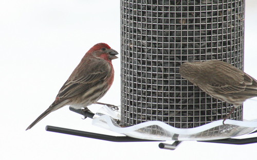 house finch with seed 6