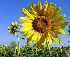 Girasoles.... (Norma.M) Tags: flores colores campo pampa girasoles