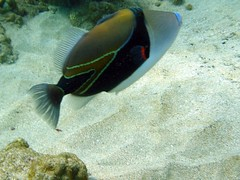 Close-up of Triggerfish (LarrynJill) Tags: ocean travel sea usa fish water coral hawaii underwater dive scuba diving maui 2008 triggerfish