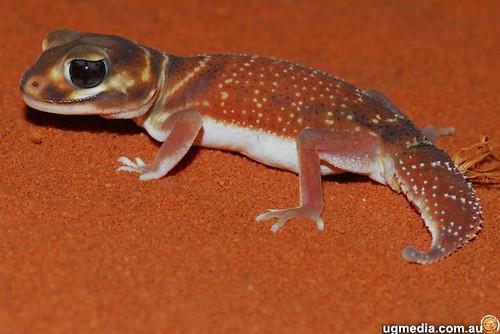 Smooth knob-tailed gecko (Nephrurus levis occidentalis)