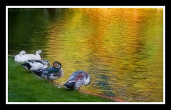 Summer Day (Charlie Wild) Tags: madrid summer espaa reflection water animals gold duck pond spain agua pato reflejo verano estanque animales retiro orton dorado parquedelretiro