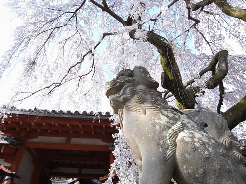 氷室神社(しだれ桜)-04