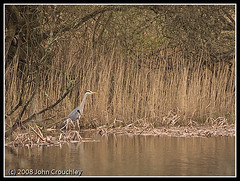 Grey Heron - the Gower March 2008