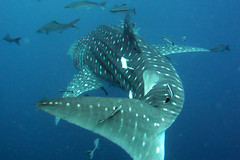 Whale Shark - Koh Tao Island, Thailand (_takau99) Tags: ocean trip travel blue sea vacation holiday fish uw nature water topv111 topv2222 thailand island lumix shark topv555 topv333 marine underwater topv1111 topv999 topv444 scuba diving topv222 panasonic explore topv5555 samui tropical april scubadiving topv777 whaleshark topv3333 topv4444 tao topv666 topf10 topf15 kohtao tropicalfish 2007 topv888 gulfofthailand topf5 topf20  takau99 top20fish dmcfx30