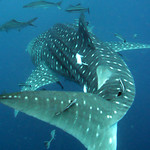 Whale Shark - Koh Tao Island, Thailand