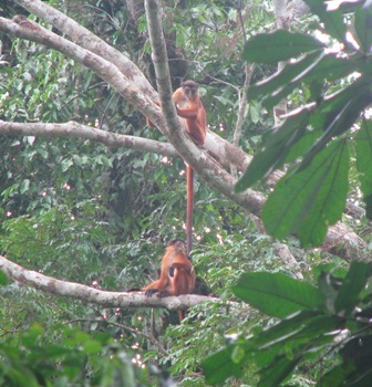 thollon's red colobus.