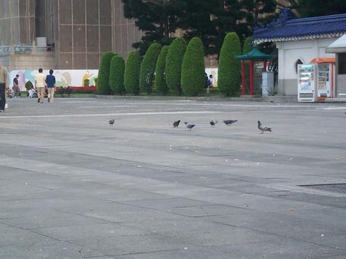 自由廣場-鴿子