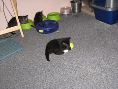 11-24-07 502 (teribul_teri) Tags: cat play kittens cuties