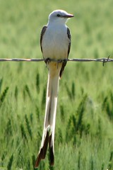 Oklahoma State Bird - explore (Marvin Bredel) Tags: bird oklahoma nature explore inspire marvin scissortail statebird naturesfinest scissortailedflycatcher kingfishercounty interestingness133 i500 okstatebird statesymbol excellentphotographerawards oklahomastatebird marvin908 zenenlightenment otmeiconwinner bredel marvinbredel