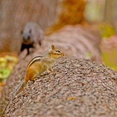 Uh Oh ! Danger ahead (Dr Tempau) Tags: black tree nature competition squirrell chipmunk challenge enemies cubism mudlake