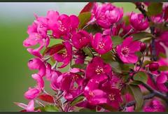 Dazzling Pink (Kadacat (Marlene)) Tags: pink flowers tree spring blossoms floweringcrabapple naturesfinest canon30d fletcherwildlifegarden impressedbeauty kadacat
