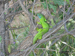 """"""".....ah lu faghitanu!! (MastroCiccio) Tags: verde natura erba giallo azzurro fluorescente rami coda celeste lucertola rettile verdefluorescente mastrociccio verdefosforescente"""