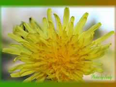 Dandelion (augustbell) Tags: macro dandelion shiningstar flowerotica flowerlovers fantasticflower goldenmix golddragon mywinners diamondheart impressedbeauty diamondclassphotographer flickrdiamond citrit empyreanflowers heartawards masterphoto photostosmileabout wonderfulworldmix flickrsfantasticflowers theperfectphotographer macroflowersgroup golddragonaward macroflowerlovers excellentsflowers excellentmacroawards allkindsofbeauty screamofthephotographer throughyoureyestoours 4mazingorgoushotsofflowers