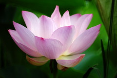 Lotus (ddsnet) Tags: plants gallery lotus sony aquatic 700 aquaticplants        flowerotica  plants  theunforgettablepictures aquatic 700 photoshavebeeningallery