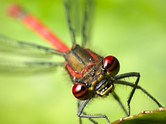 Red damselfly (Robert Seber) Tags: red macro bug insect damselflies damselfy img9848 specinsect macrophotosnolimits