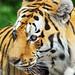 Tiger dad