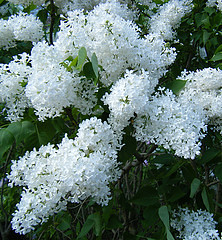 White Lilacs in Boston (patriziakoehn886) Tags: art boston photography massachusetts harvard photograph harvarduniversity bostonma jamaicaplain mothersday arnoldarboretum arborway whitelilacs lilacsunday