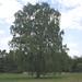 Prachtexemplar von Birke (Betula pendula)