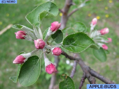apple-buds