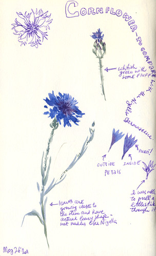 May 2011: Cornflower by apple-pine