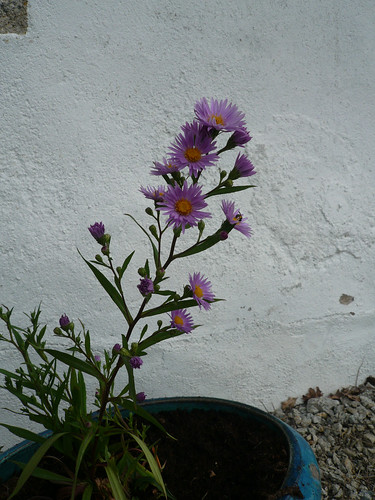 aster in may