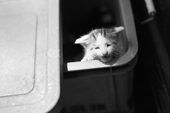 cat 2667 (前半白黒で 後半カラー) Tags: bw film canon kodak sigma tmax400 eos1n 50mmf14 straycat 400tmy2