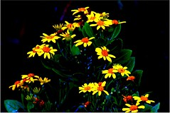 shrub of wild yellow flowers on black (WITHIN the FRAME Photography(5 Million views tha) Tags: flowers wild nature flora shrub onblack eos550d