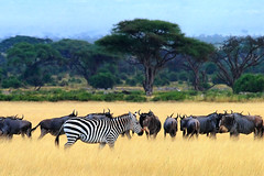 One Of A Kind (| HD |) Tags: africa 20d nature animal canon one kenya wildlife kind safari zebra species hd darwish hamad wildbeast wwwhamaddarwishcom thebestvivid