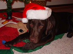 Dakota: Chocolate Lab wearing a Santa's hat
