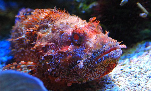 POISSON SCORPION FISH