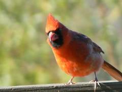 Curious Card (Lollie Dot Com) Tags: bird cardinal hey card malecardinal lolliedotcompix heywhatareyoudoinginthere whatareyoudoin p1340567