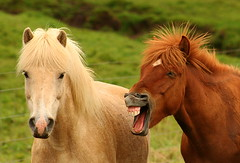 Icelandic Horses - Sberg - Iceland ({ Planet Adventure }) Tags: holiday photography photo iceland interesting photographer ab adventure planet allrightsreserved interessante digitalphotography holidayphotos stumbleupon copyright travelguide digitalworld intrepidtraveler traveltheworld planetadventure colorfulworld worldexplorer by{planetadventure} byalessandrobehling aplusphoto intrepidtravel alessandrobehling stumbleit topphotography holidayphotography alessandrobehling copyright20002008alessandroabehling colorfulearth photographyhunter photographyisgreatfun
