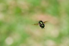 Varejeira (Daniel Lavenere) Tags: macro animal animals braslia brasil bug insect zoo df natureza inseto animais mosca blueribbonwinner varejeira murici