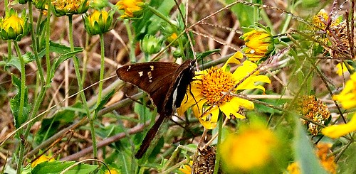 Swallowtail Butterfly -- edited