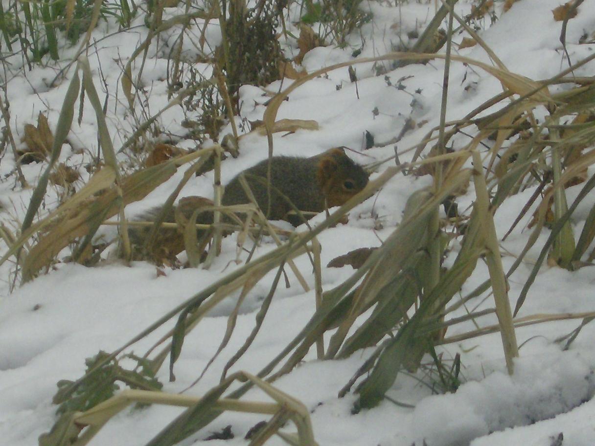 Squirrel burying nut